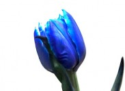 blue_tulip-small-183x133